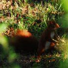 Eichhörnchen mit Eichel