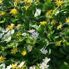 Gelbe und Weisse Wiesenblumen in Schweden