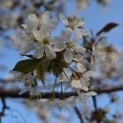 Kirschblüte in Schweden