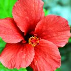 Roter Hibiskus
