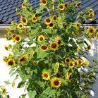 Sonnenblumenbusch