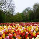 Tulpen im Vondelpark
