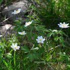 Wiesenblumen in Schweden